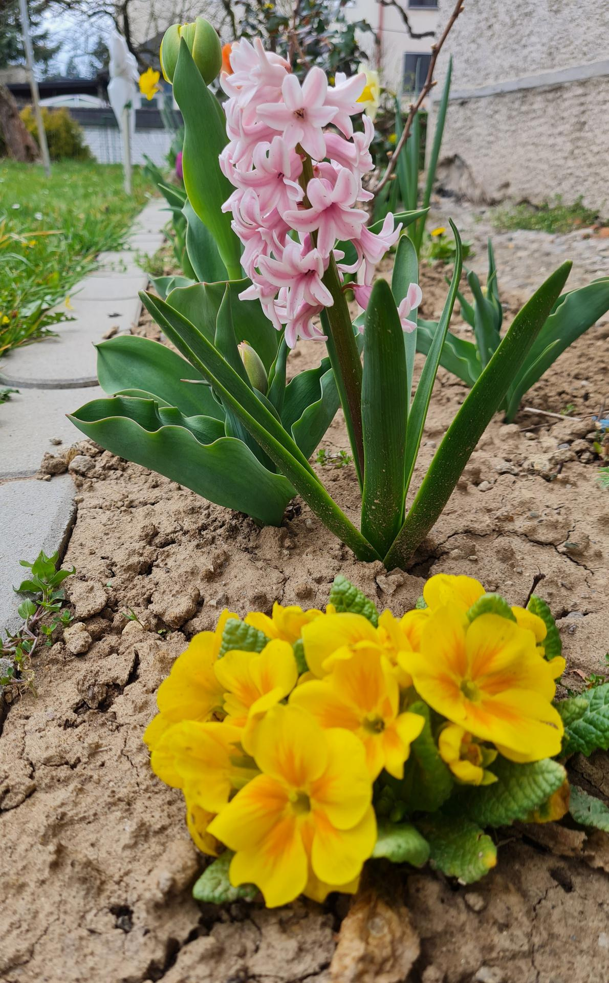 """Naše malé """"pole neorané"""" :o) záhradka 3. rok - ...pokiaľ hrozno len pučí, záhon vyplnia jarné kvietky..."""