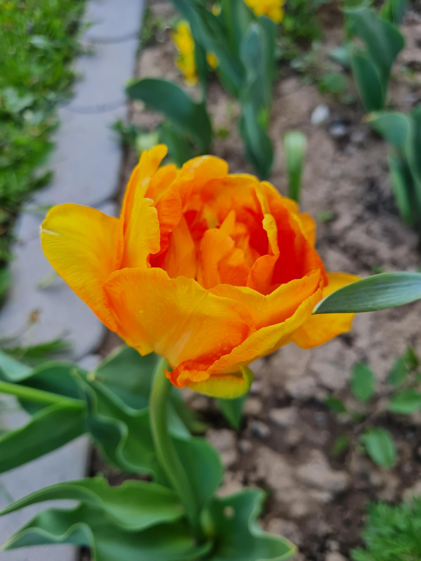"""Naše malé """"pole neorané"""" :o) záhradka 3. rok - Obrázok č. 9"""