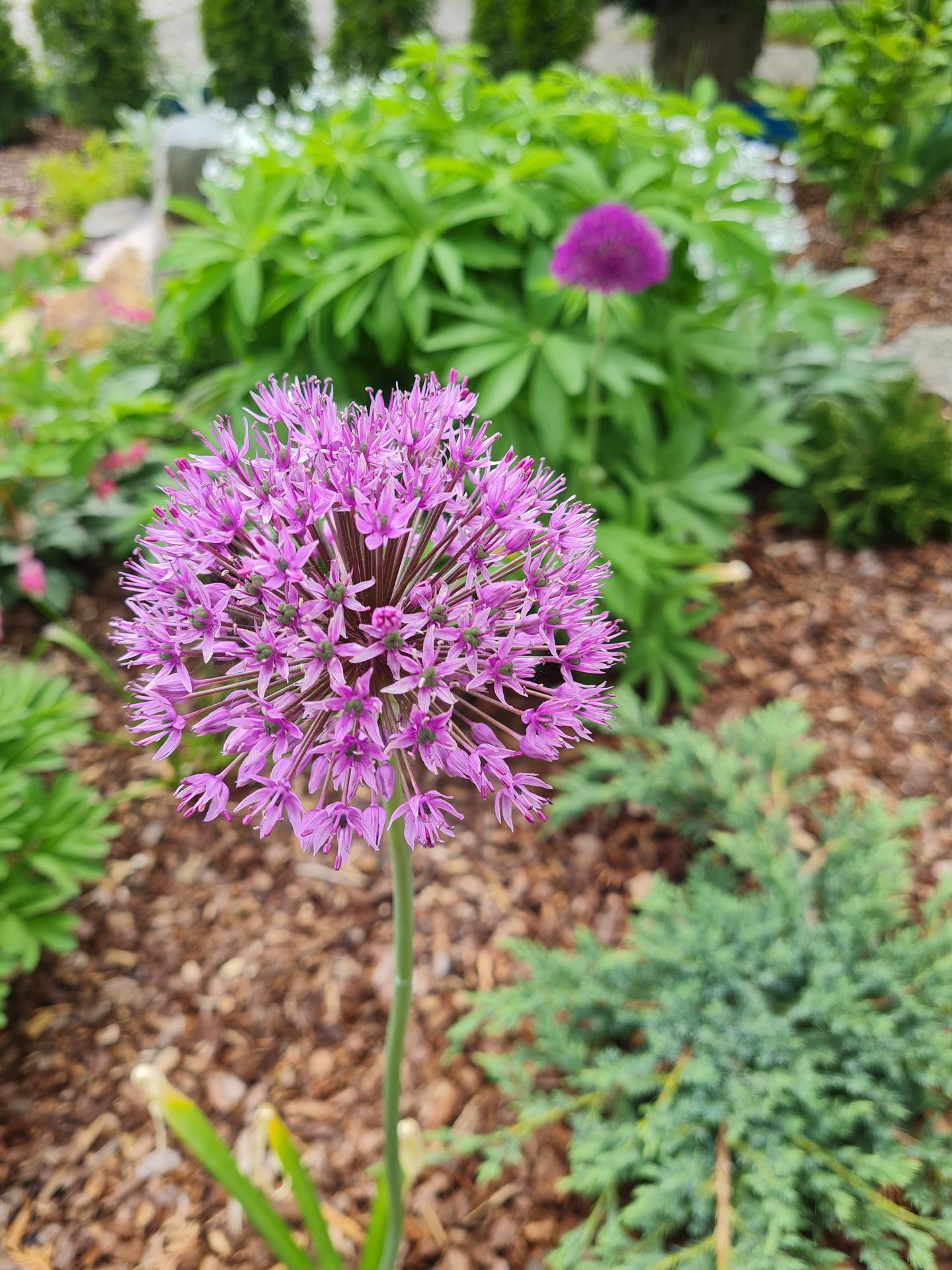 """Naše malé """"pole neorané"""" :o) záhradka 3. rok - Obrázok č. 14"""