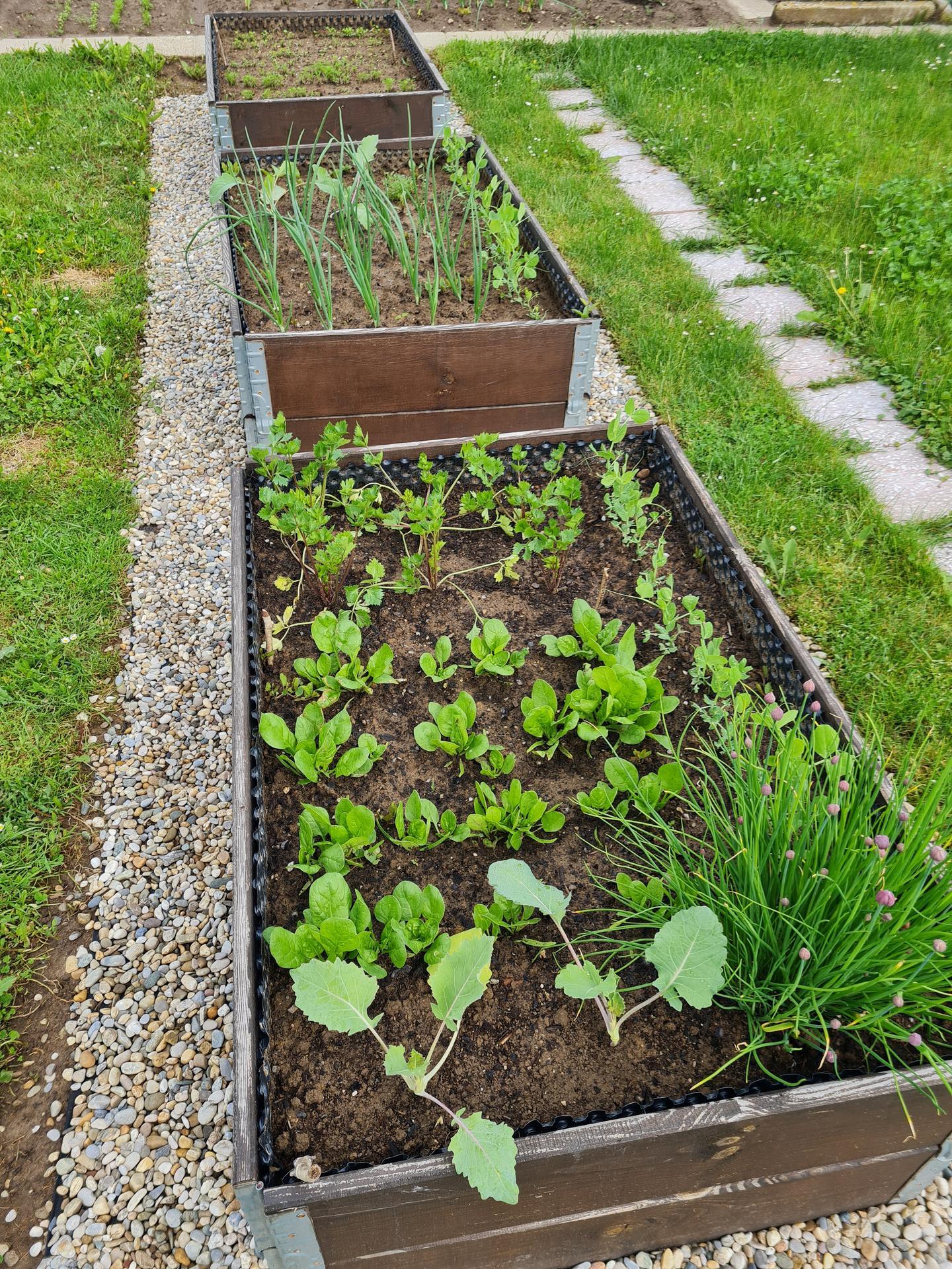 """Naše malé """"pole neorané"""" :o) záhradka 3. rok - ... vyvýšené záhony slúžia, nelezú do nich slimáky ;-) ..."""
