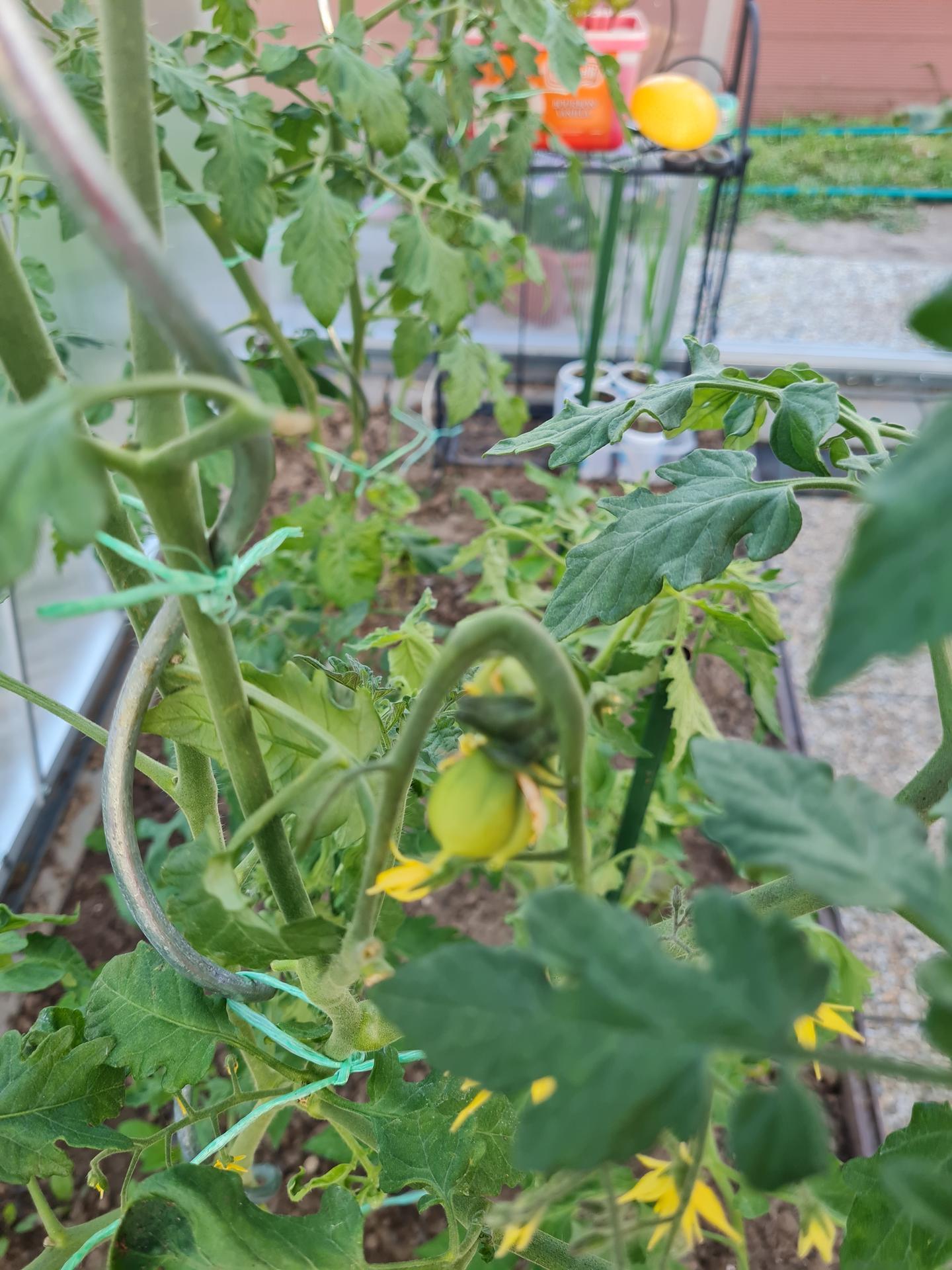 """Naše malé """"pole neorané"""" :o) záhradka 3. rok - Obrázok č. 29"""