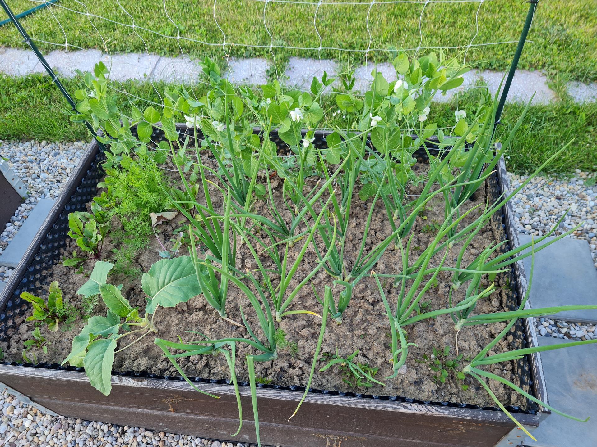 """Naše malé """"pole neorané"""" :o) záhradka 3. rok - Obrázok č. 33"""