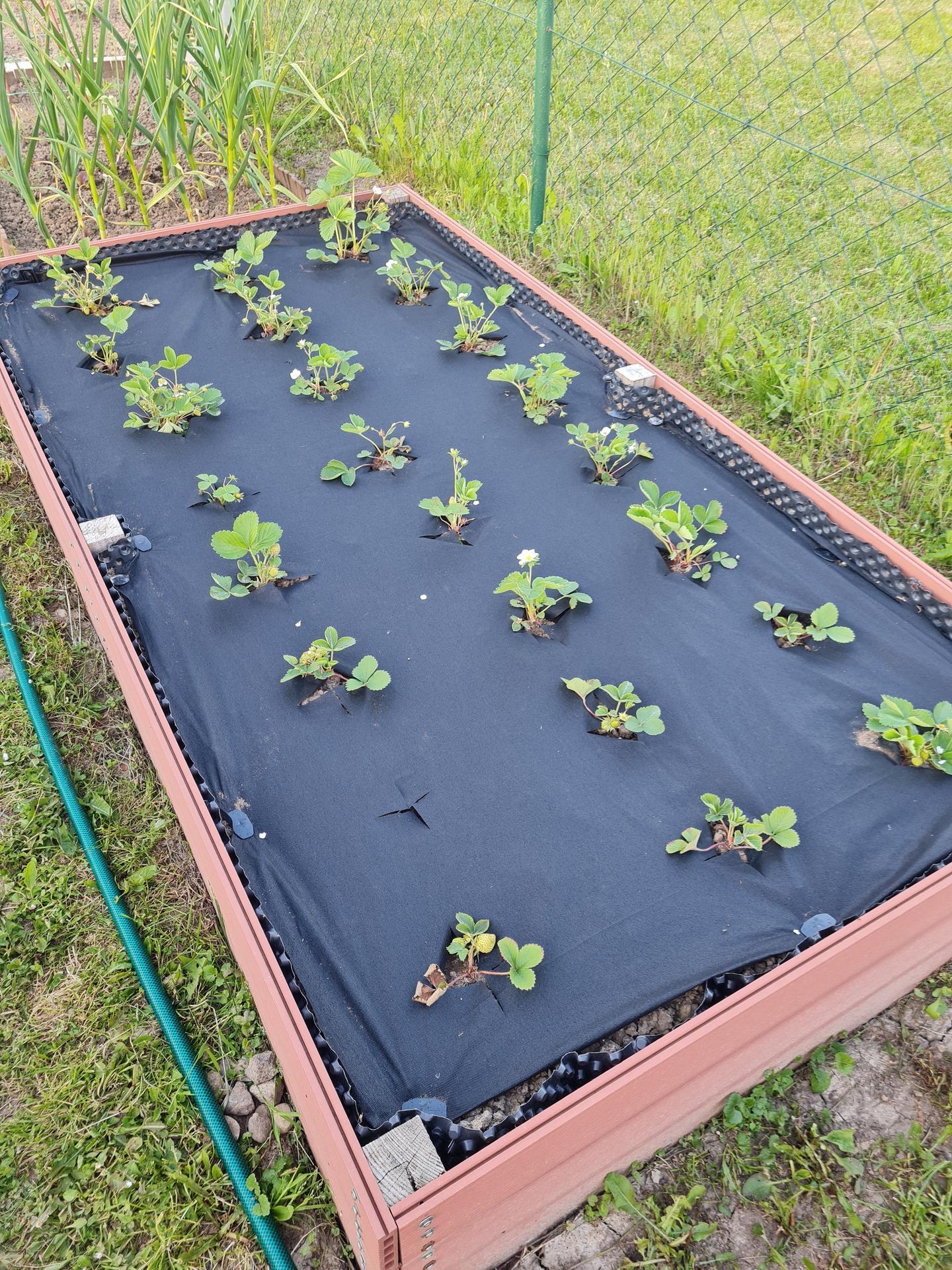 """Naše malé """"pole neorané"""" :o) záhradka 3. rok - Obrázok č. 36"""