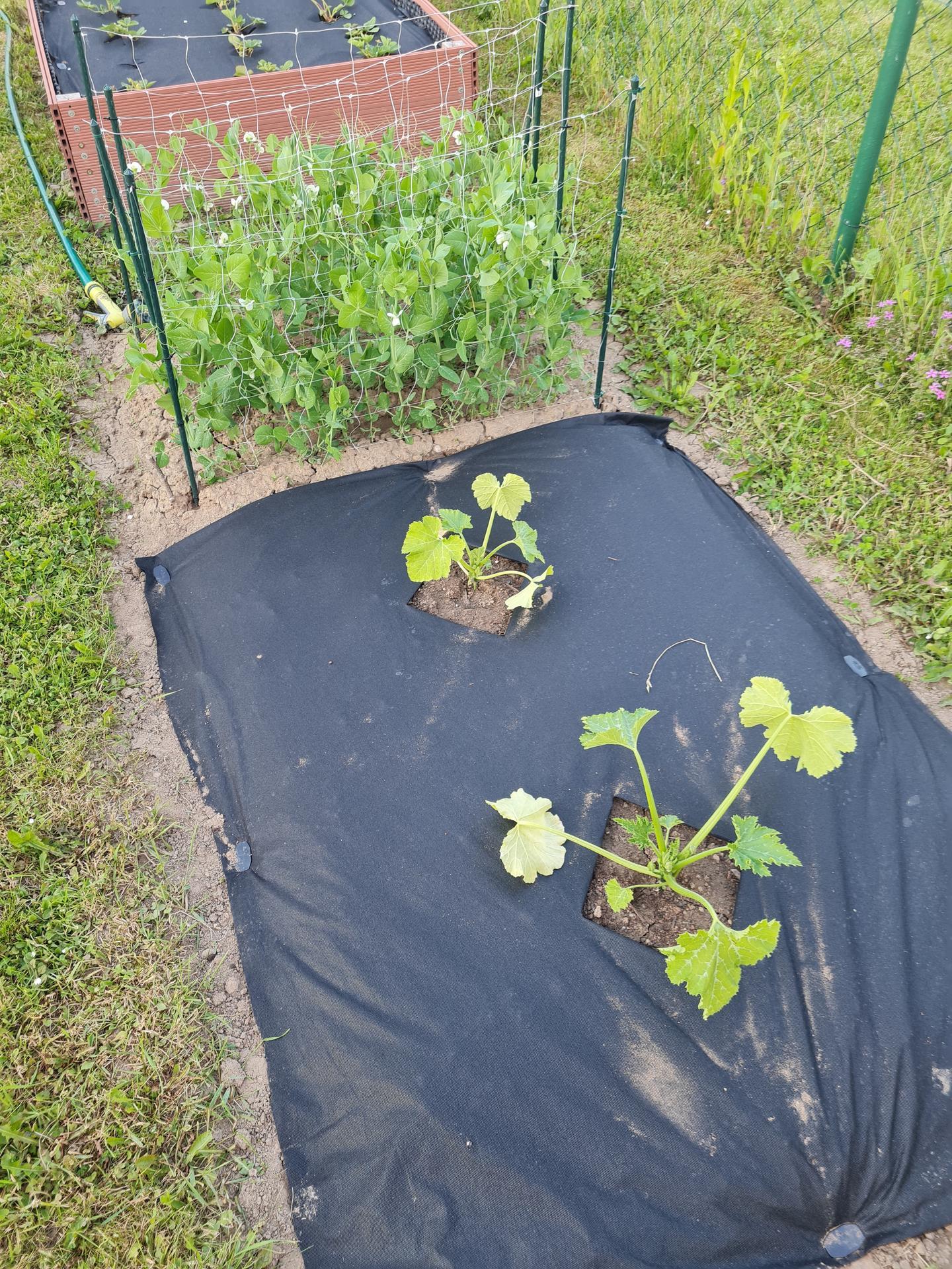 """Naše malé """"pole neorané"""" :o) záhradka 3. rok - Obrázok č. 37"""