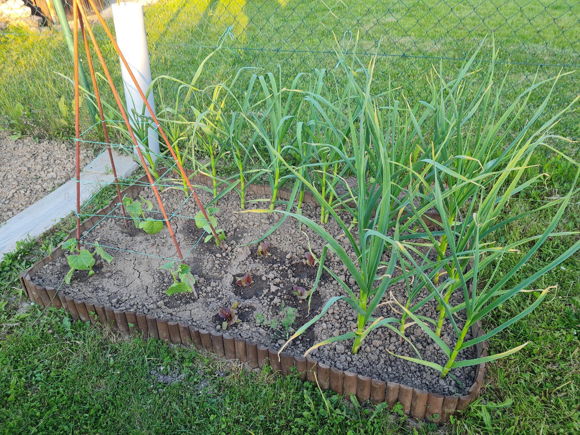 """Naše malé """"pole neorané"""" :o) záhradka 3. rok - ... cesnak je obrovský, sadený skoro do zamrznutej pôdy..."""