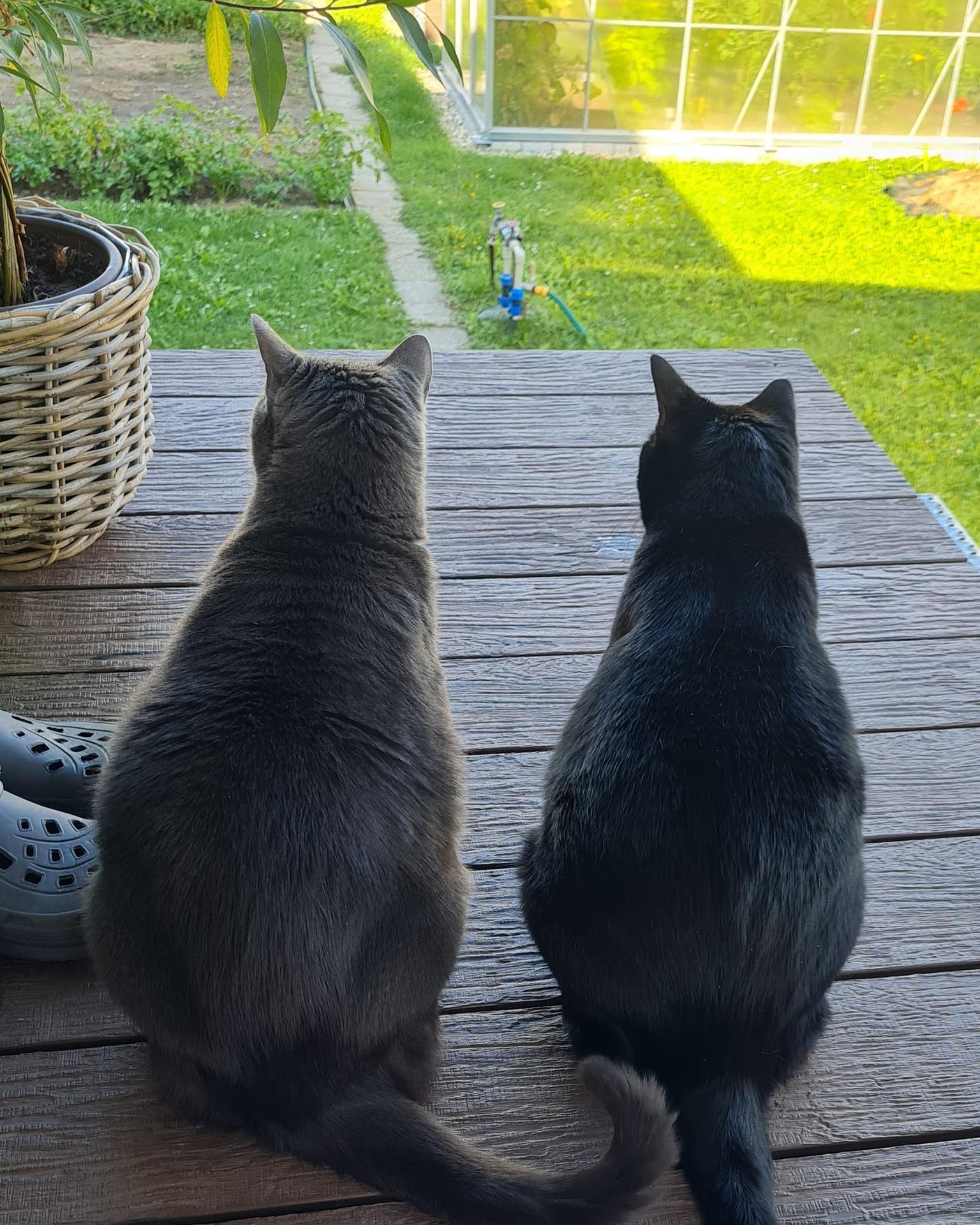 Premena balkóna na terasku - ... aj cicuchy si terasku užívajú :) ... sledujú susedovho Puňťa :D