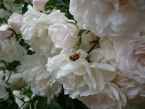Biela pôdopokryvná ruža