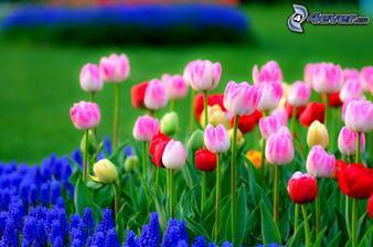 Tulipány a samozrejme aj kúsok modríc :)