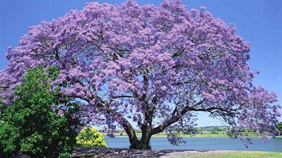 Paulownia plsnatá....najoblúbenejší strom môjho manžela :)