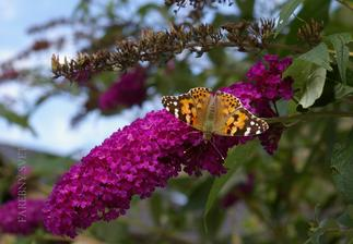 Budleja alebo motýlí kvet :)