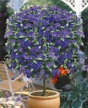 Enciánový stromček