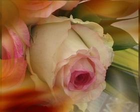 Překrásná růže, ale v celku to není moc hezký :-(