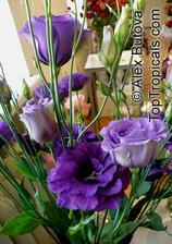 Svatební kytička bude z Eustomy světle a tmavě fialové.