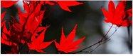 Obraz na plátne 38x100cm JAVOROVÉ LISTY červeno-či,