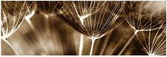 Obraz na plátne 45x140cm PÚPAVY tmavá sépia,