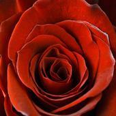 Obraz na plátne 30x30cm RUŽA červený,
