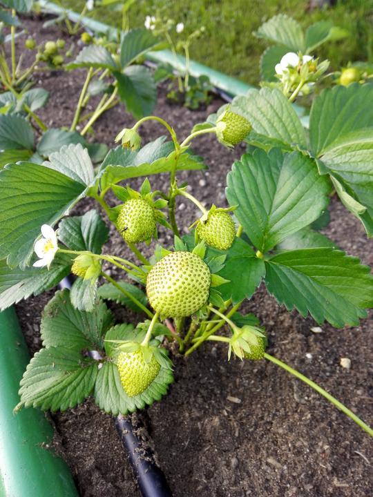 Ako som robil vyvyseny zahon na jahody - Obrázok č. 11