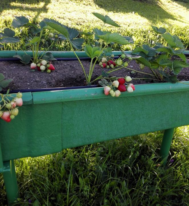 Ako som robil vyvyseny zahon na jahody - prva uroda v roku vysadby