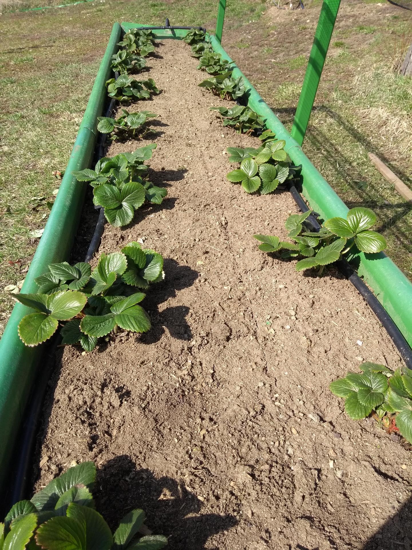 Ako som robil vyvyseny zahon na jahody - Obrázok č. 18