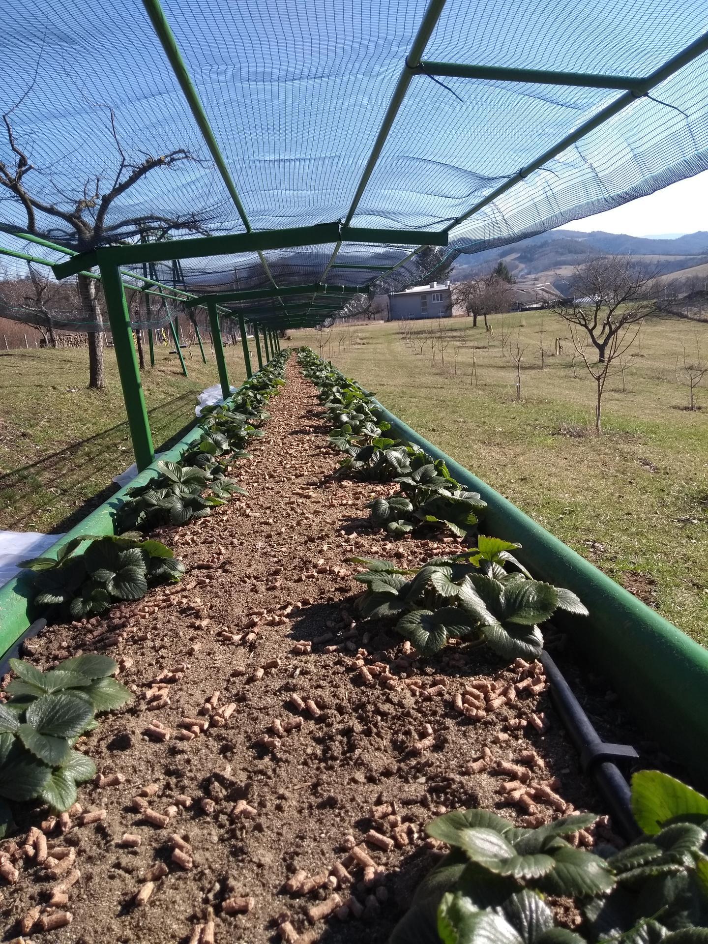 Ako som robil vyvyseny zahon na jahody - Jahody sa preberajú ,staré listy z minulého roka sa obstrihali ..