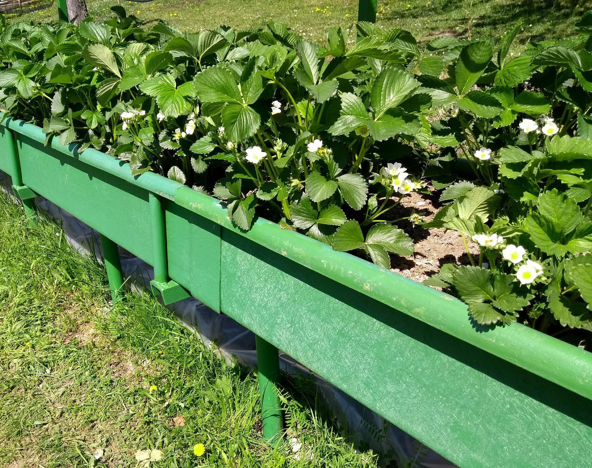 Ako som robil vyvyseny zahon na jahody - Jahody sú už týždeň v kvete dnes  22 apríl