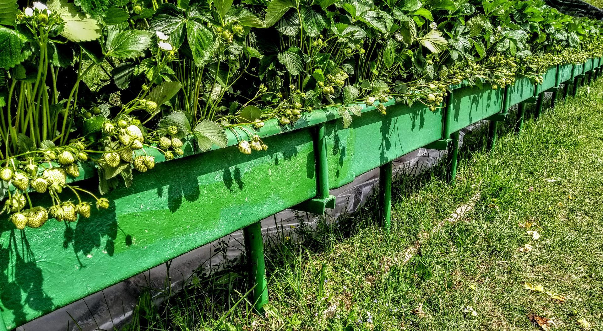 Ako som robil vyvyseny zahon na jahody - Obrázok č. 25