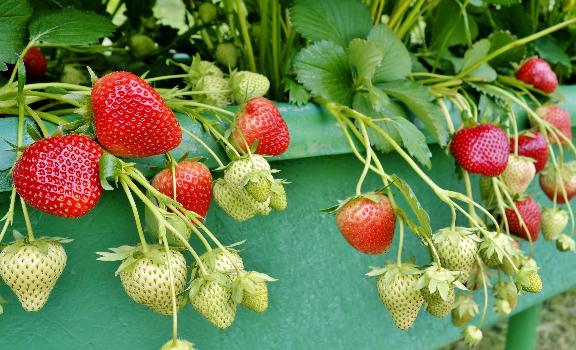 Ako som robil vyvyseny zahon na jahody - prvych par kuskov