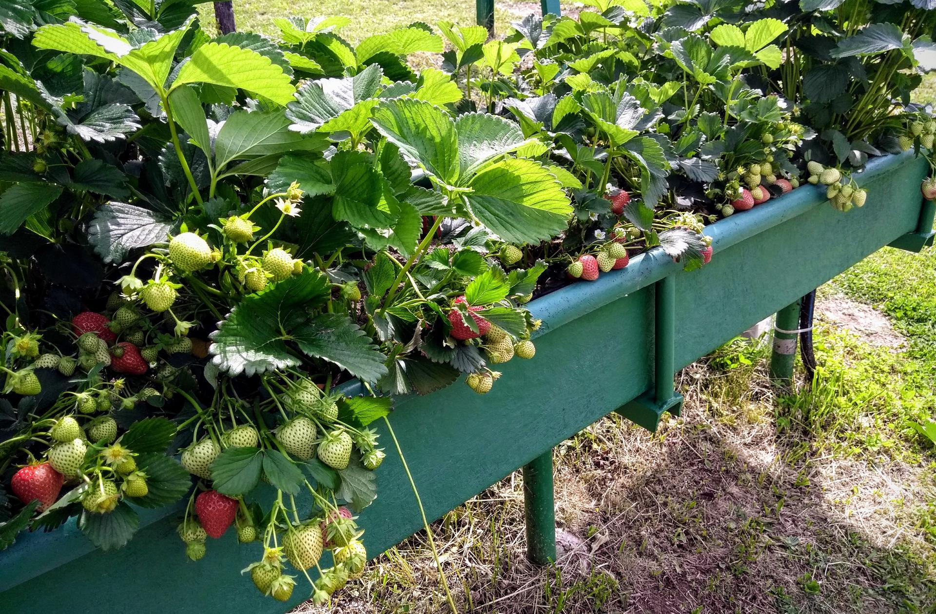 Ako som robil vyvyseny zahon na jahody - Obrázok č. 27