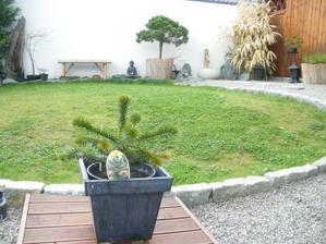 """Araucaria araucana - moj """"Affenbaum"""" - myslim ze za rok nevyrastol ani 1 cm;-("""