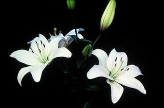bílé lilie bez pestíků