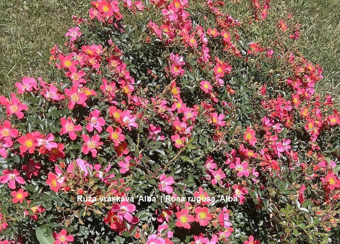 Herbár kvetín, kríkov a stromov - Obrázok č. 168