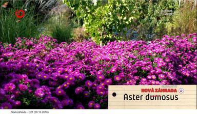Astra krovitá - Aster dumosus