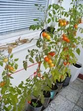 paradajky 09/2011