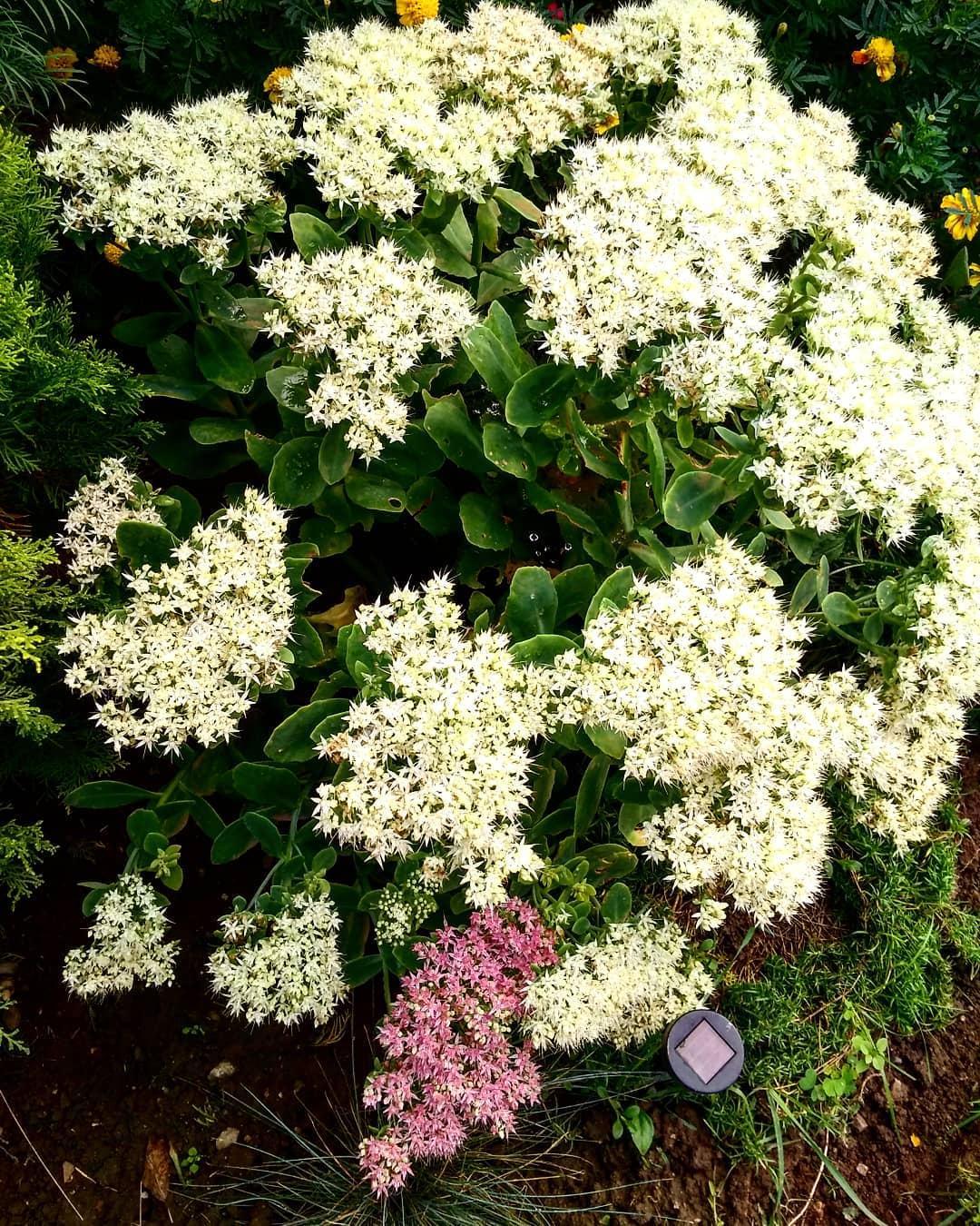 krása kvetu 2020 - rozchodník biely