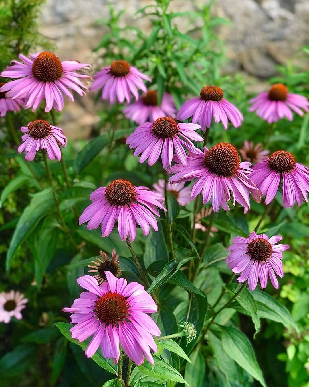 krása kvetu 2020 - echinacea