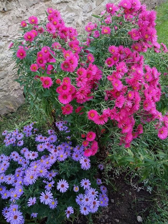 krása kvetu 2020 - astry