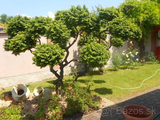 Exteriér - záhrada - tento bonsaj bude zajtra náš :) výška 220cm,šírka 250cm,vykopávať sa bude síce zložito,ale urobí to šikovná záhranícka firma;