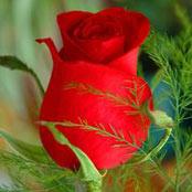 oblubený kvet nevesty