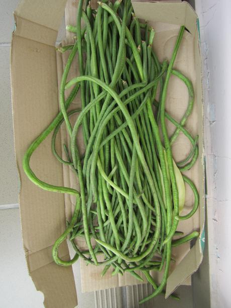 semená pol metrovej fazule - Obrázok č. 1