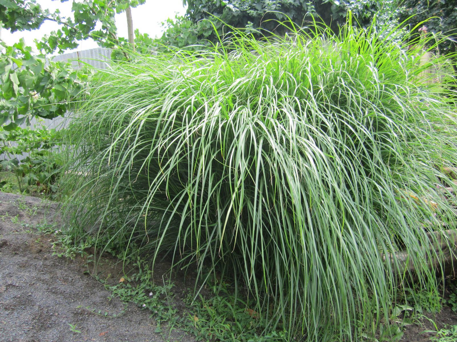 Okrasná tráva - Obrázok č. 1