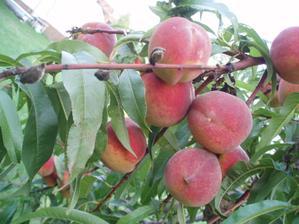 15.8.2010 naše vlastní ovoce