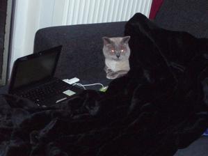 16.12.2010 náš lump po týdenním courání po zasněžených pláních a dobývání místních kočičích srdcí. Jsem zvědavá, kolik britských blue-colorpointů bude na jaře po vsi pobíhat :-)