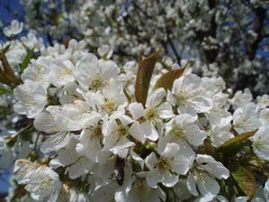 25.4.2010 budeme mít vlastní třešně, jupí.