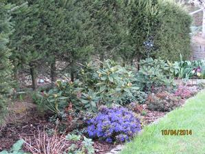 rododendrony začínajú kvitnúť