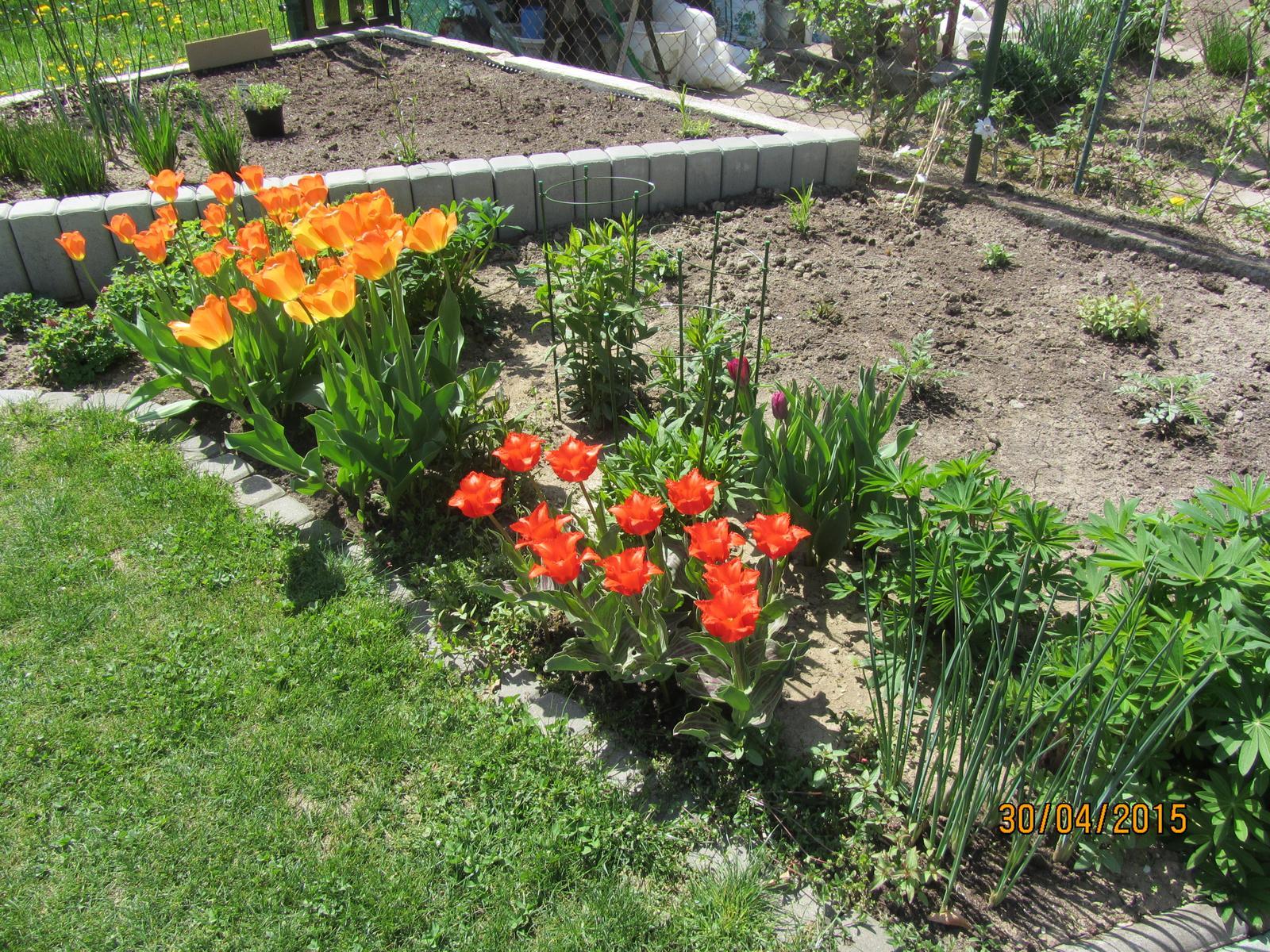 Tulipány - Obrázok č. 20