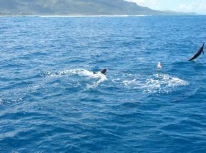 vidět je takto ve volné přírodě......doslova se před námi předváděli !:-) bohužel byli dost rychlí, takže pořídit jejich fotku bylo dost těžký! plavali rychleji než jsem já fotila:-) mám hrozně moc fotek, ale většinou je tam jen ploutev nebo jen hlav