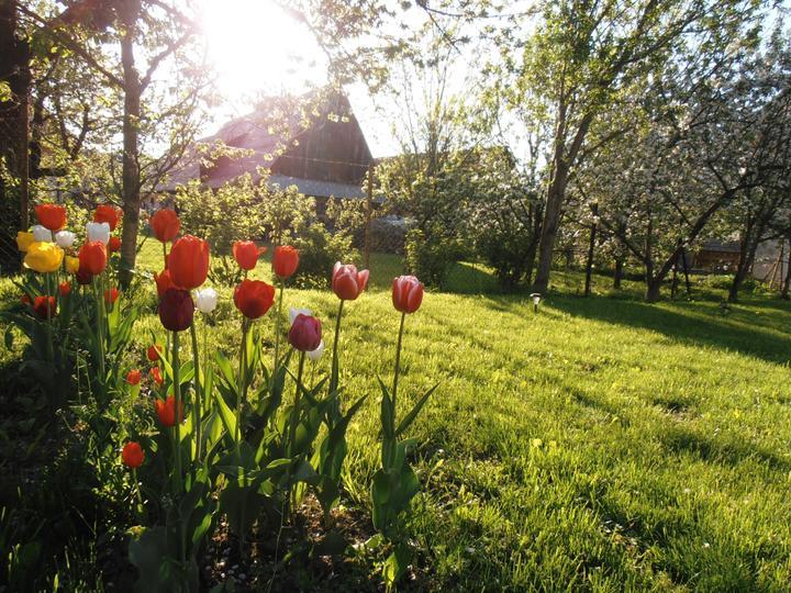 Náš domčúr - Alfa - Moje tulipány