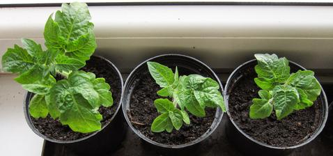 balkónové paradajky