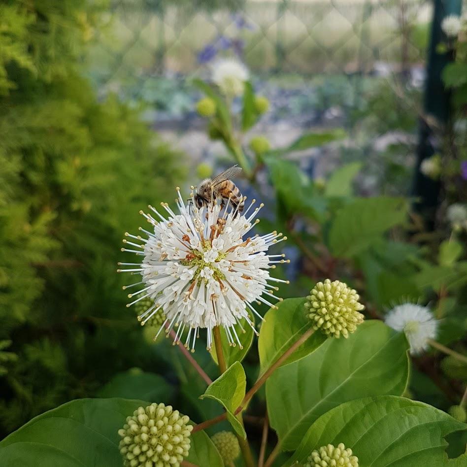 Hlavoš (Cephalanthus occidentalis), anglický názov buttonbush - Obrázok č. 1
