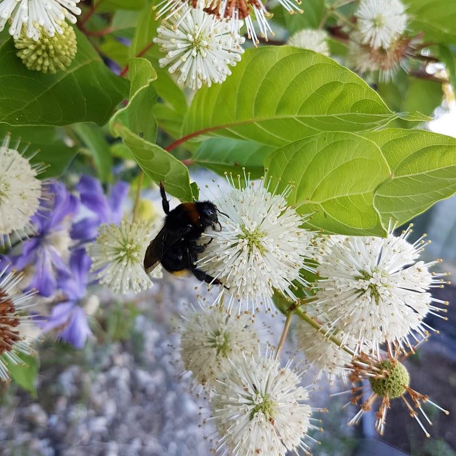 Hlavoš (Cephalanthus occidentalis), anglický názov buttonbush - Obrázok č. 2